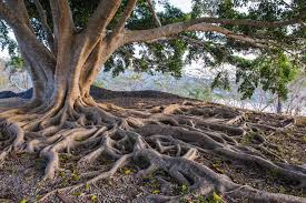 Exposed roots 2